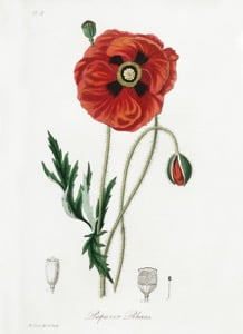Common Poppy source