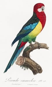 Eastern Rosella source