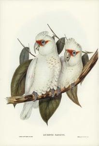 Long-billed Cockatoo source