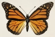 Monarch Butterfly source
