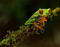Red-eyed Tree Frog 1 source