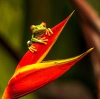 Red-eyed Tree Frog 2 source