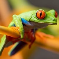 Red-eyed Tree Frog 3 source