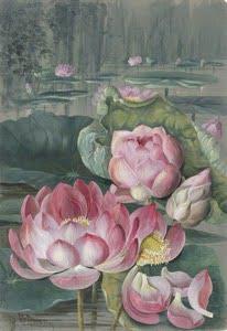 Sacred Lotus Water Lily source