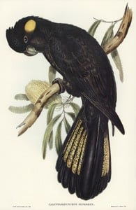 Yellow-tailed Black Cockatoo source